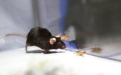 """Các nhà khoa học có thể biến chuột thành """"xác sống"""" trong The Walking Dead"""