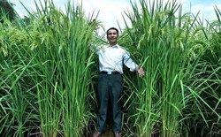 Trung Quốc tạo ra lúa khổng lồ, mong đủ lương thực nuôi 1,3 tỉ dân