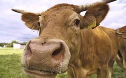 Năm 2020, Toyota sẽ có nhà máy sản xuất ra năng lượng sạch từ ... phân bò
