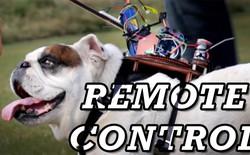 """Chuyện gì xảy ra nếu ta gắn một """"hệ thống điều khiển từ xa"""" lên người một chú chó?"""