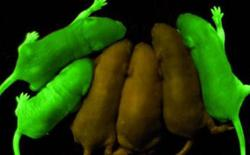 Biến đổi chuột phát sáng như đom đóm - Thí nghiệm mở ra nhiều hy vọng mới cho loài người