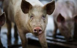 Egenesis - Startup được sáng lập bởi một cô gái 8x vừa nhận 38 triệu USD, muốn ghép nội tạng của lợn vào cơ thể người