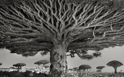 Ngắm bộ ảnh được thực hiện trong 14 năm, chụp những cây cổ thụ già nhất và lộng lẫy nhất trên thế giới