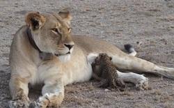 Ngỡ ngàng trước cảnh sư tử cái cho báo con bú, các nhà khoa học cũng phải sửng sốt