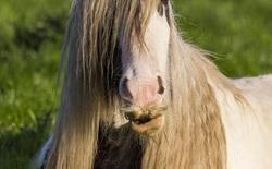 [Vui] Cứ trông thấy cái kéo là giống ngựa này liền sợ hãi bỏ chạy, lý do sẽ khiến bạn phải phì cười