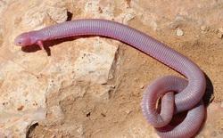 Chiêm ngưỡng ngoại hình kỳ lạ của sinh vật nửa giun nửa rắn nhưng lại có 2 chân