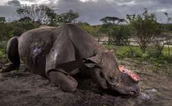 Bức ảnh thương tâm chụp chú tê giác bị những kẻ săn trộm giết để lấy sừng đoạt giải nhất cuộc thi Nhiếp ảnh Cuộc sống Hoang dã 2017