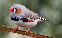 Ta đã có thể đọc được não chim và biết được nó sắp hót bài gì, bước đệm hoàn hảo để áp dụng lên não người