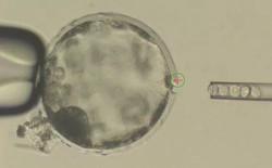 Tế bào não người siêu nhỏ được nuôi cấy trong cơ thể chuột bắt đầu cho thấy dấu hiệu phát triển