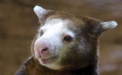 Loài chuột túi sống trên cây đáng yêu như thế này là có thật, đáng buồn là chúng sắp tuyệt chủng