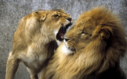 Sư tử cái đói ăn liều lĩnh tấn công hà mã, nhận quả đắng