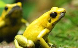 Tại sao ếch độc tự liếm bản thân mà không lăn ra chết?