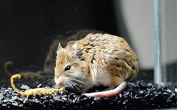 """Nọc độc bọ cạp là vô cùng khủng khiếp, nhưng với """"Đại ca"""" chuột này, đấy chỉ là thuốc giảm đau"""