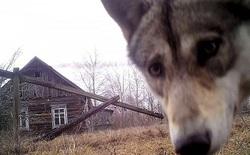 Hơn 30 năm sau thảm họa Chernobyl, động vật hoang dã đang phát triển mạnh mẽ tại đây còn con người vẫn không thể sinh sống