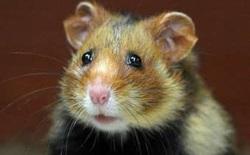 Chuột hamster Pháp biến thành thú ăn thịt vì bị ép chỉ được ăn ngô