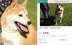 Chó Shiba bị tòa án Bắc Kinh bán đấu giá vì không thể thanh toán 3 năm dịch vụ ở khách sạn thú cưng