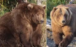 Cứ vào thời gian này ở Alaska, toàn bộ gấu sẽ béo như lợn