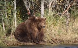Vì sao gấu ngủ đông? Con người có bắt chước được không?
