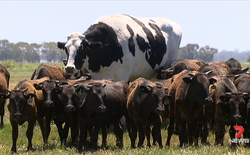 """Chiêm ngưỡng """"The Rock"""" của thế giới bò: Cao 1m93, nặng 1,4 tấn, thoát chết vì quá to không thể làm thịt"""