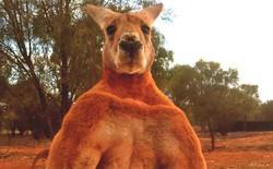 """Ngoài bò """"The Rock"""", nước Úc có cả chuột túi """"Hulk"""", ếch """"Superman"""" và nhiều con vật ngoại cỡ khác"""