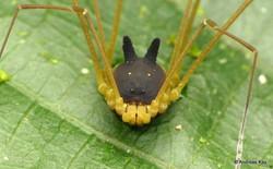 Kỳ lạ loài nhện nhìn y hệt đầu con chó khiến internet vừa sợ vừa buồn cười