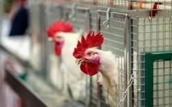 Sự thật: chúng ta đang sống trong kỷ nguyên của những con gà