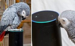 Bị đuổi khỏi vườn thú vì hay văng bậy, con vẹt này đã trót yêu trợ lý ảo Alexa, lén đặt mua đồ ăn trên Amazon