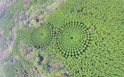 """Thử nghiệm lâm nghiệp kéo dài gần nửa thế kỷ ở Nhật đã trở thành """"crop circles"""" tuyệt đẹp"""