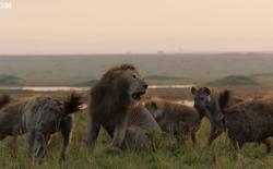 Video: Bị hơn 20 con linh cẩu cắn xé, vua sư tử may mắn thoát chết nhờ có anh em tới hộ giá