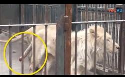 Sư tử ở vườn thú Trung Quốc tự cắn cụt đuôi để thoát khỏi hố nước đóng băng