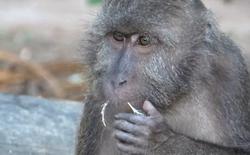 Đây là loài khỉ chuyên đi nhặt lông chim để xỉa răng