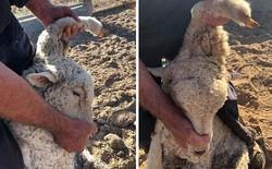 Nhờ mọc thêm một cái chân trên đầu, chú cừu may mắn chạy thoát khỏi kiếp bị làm thịt