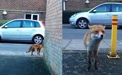 """Tí tởn ra chụp ảnh con cáo, người đàn ông bị lừa bởi vẻ ngoài thân thiện rồi nhận cái kết """"đắng"""""""
