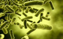 Gà đẻ trứng vàng chỉ có trong cổ tích, còn loại vi khuẩn đẻ ra vàng này là có thật