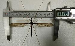 Trung Quốc: Tìm thấy con muỗi lớn nhất thế giới, sải cánh lên tới 11,15cm