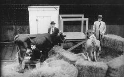 Năm 1933 có 3 con bò đến Nam Cực