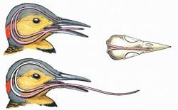 Ai cũng giật mình khi biết cách loài chim này cất cái lưỡi dài hơn cả đầu