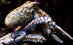 Một nhóm các nhà khoa học quốc tế tin rằng bạch tuộc là sinh vật ngoài hành tinh