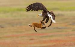 Nhiếp ảnh gia chụp được chùm ảnh siêu hiếm: Đại bàng nhấc bổng con cáo lên không trung, chiến đấu 8 giây vì con thỏ trong miệng cáo
