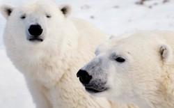 10 sự thật ngỡ ngàng về động vật ở Bắc Cực mà không phải ai cũng biết