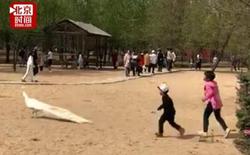 Trung Quốc: Bố mẹ thản nhiên nhìn con đuổi bắt, vặt lông chim công trong vườn thú