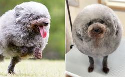 """Hàng loạt chú chó bỗng """"hóa cừu"""" sau khi tới làm đẹp ở salon thú kiểng Nhật Bản"""