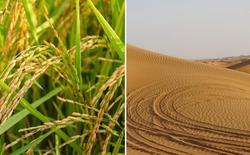 Các nhà khoa học canh tác và thu hoạch thành công lúa chịu mặn trên sa mạc Dubai