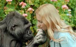 """Koko - khỉ đột biết """"nói chuyện"""" với con người đã qua đời ở tuổi 46"""