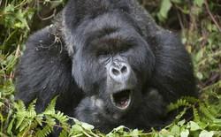 Anh em khỉ đột vừa ăn vừa hát, một nhà khoa học đã ghi âm trộm được vài bài