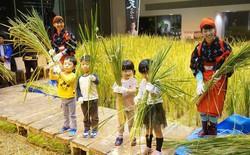 Công ty cho nhân viên trồng lúa trong văn phòng, cuối vụ đưa cả con đến gặt cho vui