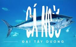 Các nhà khoa học đang thuần hóa cá ngừ vây xanh đang trong diện nguy cấp để có đủ nguyên liệu mà làm sushi