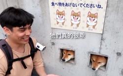 Chuyên thò đầu ra chào du khách, 3 chú chó Shiba biến tường nhà thành điểm du lịch nổi tiếng