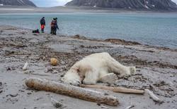 Đau lòng: Tấn công đoàn khách du lịch, một chú gấu trắng Bắc Cực bị bắn chết