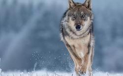 """Một con sói xám đơn độc vừa rời """"vùng cấm"""" tại Chernobyl"""